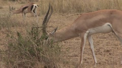 Grant's Gazelle male feeding in Amboseli 2 Stock Footage