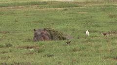 Hippopotamus feeding in marshland in Amboseli 4 Stock Footage