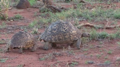 Leopard Tortoise pair walking and feeding in grass in Tsavo East 1 Stock Footage