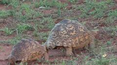 Leopard Tortoise pair walking in Tsavo East Stock Footage