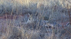 Leopard youngster lay down behind grass in Tsavo West 1 Stock Footage