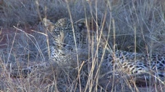 Leopard youngster lay down behind grass in Tsavo West 3 Stock Footage