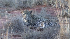 Leopard youngster looking around 4 - stock footage