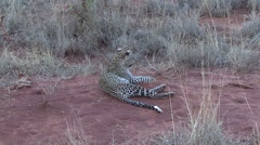 Leopard youngster sitting up Stock Footage