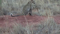 Leopard youngster walk away 1 Stock Footage