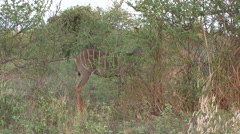 Lesser Kudu female feeding in bush in Tsavo West 1 Stock Footage