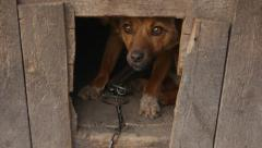 Lone dog looks pitiful out of his doghouse Stock Footage