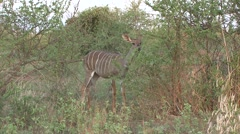 Stock Video Footage of Lesser Kudu female feeding in bush in Tsavo West 2