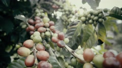 Coffee tree with ripe berries Stock Footage