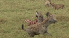 Lion pride with cubs fight over Zebra pray with Spotted Hyena 2 Stock Footage