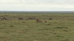 Lion pride with cubs fight over Zebra pray with Spotted Hyena 3 Stock Footage