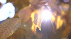 Autumn leafs with sun backlight - stock footage