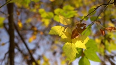 Leafs in the autumn Stock Footage
