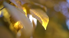 Sun shine through fall leaves Stock Footage