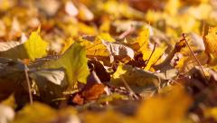 Fallen Maple Leaves, Autumn. The camera moves along the leaf covered ground. Stock Footage