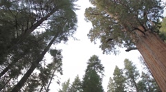 Sequoia, General Sherman, largest tree worldwide, panning Stock Footage