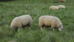 Two sheep grazing in field in Cambridgeshire, England. Stock Footage