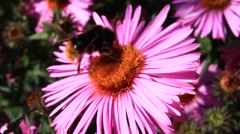 Bee sitting on the asters Stock Footage