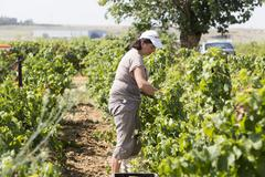 Farm worker picking grape during harvest in Thessaloniki, Greece. - stock photo