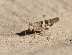 Grasshopper in sand Stock Photos