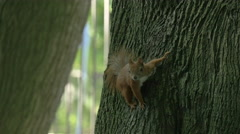 Squirrel climbing a tree in a park, Warsaw Stock Footage