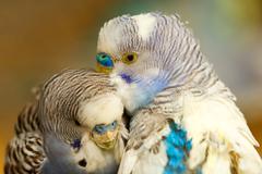 Melopsittacus Undulatus Birds - stock photo