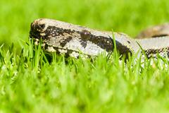 Boa Snake Head From Ground Level Stock Photos