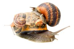 Snail Caring His Numerous Family - stock photo