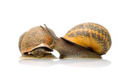 Pair Of Snails In Love - stock photo