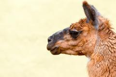 Brown Lama Camelid Head Against The Sky - stock photo