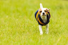 Stock Photo of Jack Russell Terrier Outdoor
