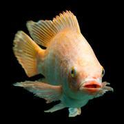 Nile Red Tilapia Fish - stock photo