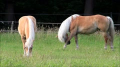 Horse, two blond Haflinger grazing on meadow Stock Footage