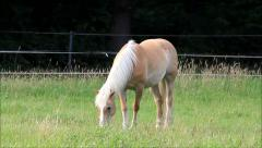 Horse, blond Haflinger grazing on meadow Stock Footage