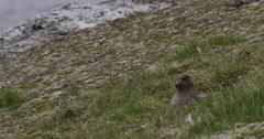 Pomarine Jaeger Nesting In Grassy Slope Stock Footage