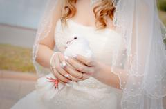 wedding dove - stock photo