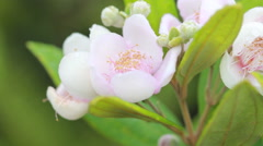 Pink wild flower with dew drop in nature, Thailand - stock footage