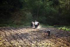 Ploughing with oxen. - stock photo
