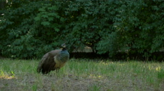 Peafowl female seen in Lazienki Park, Warsaw Stock Footage