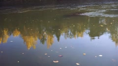 Yellow leaves floating on the fast-flowing river on the background of autumn for Stock Footage