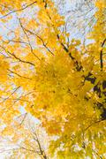 Stock Photo of Autumn time yellow colored maple tree on blue sky