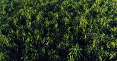 Aerial Flight over lush green sugar cane field - stock footage