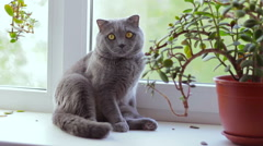 Gray  British cat breed is sitting on a window sill and looking out the window Stock Footage