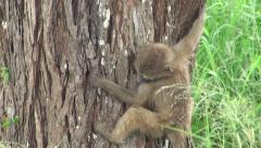 Monkey down from the tree to the tall grass. Safari in Tanzania Stock Footage