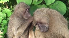 Two baboons are taking care of each other. Safari in Tanzania Stock Footage
