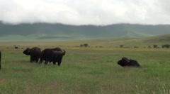 Buffaloes on the green plain. Safari in Tanzania Stock Footage