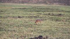 An African fox on the green plain. Safari on Tanzania Stock Footage
