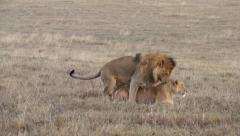 Lions have sex in savannah. Safari in Tanzania Stock Footage