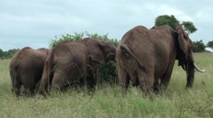A group of big elephants. Safari in Tanzania Stock Footage