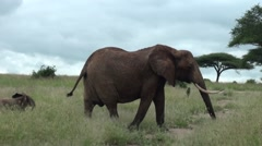 A group of elephants with their babies. Safari in Tanzania Stock Footage